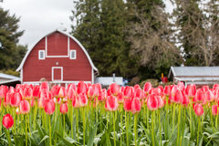 Vivid pink tulip field and farmer barn Royalty Free Stock Photography