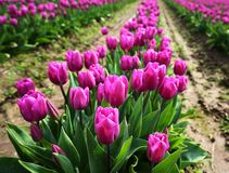 Purplish Pink Tulips in Skagit Valley Royalty Free Stock Photo