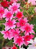 Vivid pink and white flowers. On a blurred background Stock Photo