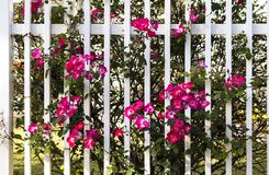 Vivid pink wild roses growing through white fence stock images