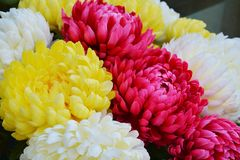 Vivid pink yellow petals and flowers, natural background, garden beauty Stock Image