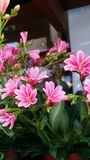 Vivid pinks Royalty Free Stock Images