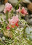 Vivid poppy Royalty Free Stock Images