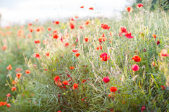 Vivid poppy field in evening sun light Stock Image