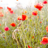 Vivid poppy field in evening sun light, Stock Images