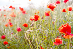 Vivid poppy field in evening sun light, Stock Image