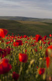 Vivid poppy field Royalty Free Stock Image