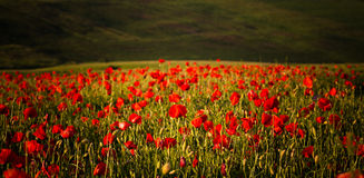 Vivid poppy field Stock Photography