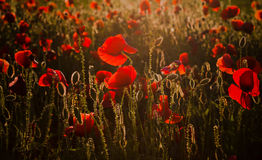 Vivid poppy field Royalty Free Stock Images