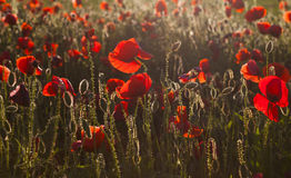 Vivid poppy field Stock Image