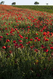 Vivid poppy field Royalty Free Stock Photo