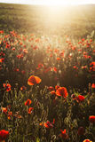 Vivid poppy field Stock Photos