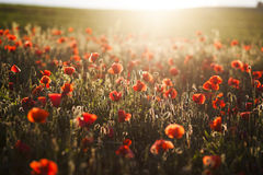 Vivid poppy field Royalty Free Stock Photography