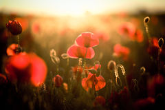 Vivid poppy field Royalty Free Stock Photos
