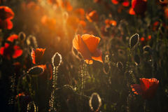 Vivid poppy field Stock Photo