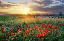 Vivid poppy field royalty free stock photos