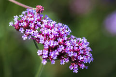 Vivid purple flowers close-up. Concept of beautiful nature, summer background. Seasons, gardening, admiring flowers Stock Photography