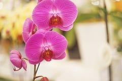 Vivid purple Phalaenopsis orchid Royalty Free Stock Photos