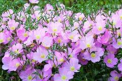 Vivid purple spring flowers. Beautiful vivid purple spring flowers bush bellflower Royalty Free Stock Photography