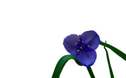 Vivid Purple Wild Spiderwort Flower. A single purple and blue wild flower stands tall with its elegant curved leaves holding the flower with its six bright stock images