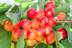 Vivid rainier white cherry berry Stock Images