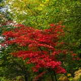 A vivid red Acer in autumn colours against a green foliage background. Picture taken at Winkworth Arboretum in Surrey stock photography