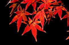 Vivid red autumn leaves Stock Photo