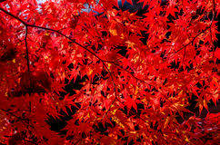 Vivid red autumn leaves in autumn Stock Photo
