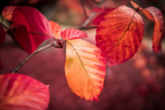 Vivid red autumn leaves on a branch on blurred background. Stock Images