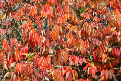 Vivid red autumn leaves  and fruits or bobs on a Rhus tree Royalty Free Stock Photos