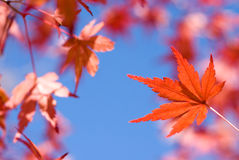Vivid red autumn maple leaf Stock Images