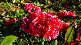 Vivid Red Cabbage Roses stock image