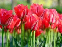 Vivid red colour tulips at Keukenhof Gardens, Lisse, South Holland. Photographed in HDR high dynamic range. Close up of vibrant red colour tulips at Keukenhof royalty free stock image