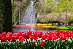 Vivid red colour tulips by the water at Keukenhof Gardens, Lisse, South Holland. Photographed in HDR high dynamic range. Close up of vibrant colour tulips at royalty free stock photo