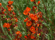 Vivid Red Copper Mallow Wildflowers Cowboy`s Delight Near Moab Utah Stock Photo