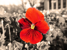 Vivid red flower in the garden on the monochrome background Royalty Free Stock Photo
