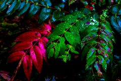 Vivid red and green leaved covered in dew stock photography