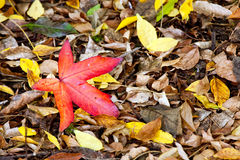 Vivid red leaf Royalty Free Stock Image