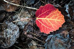 Vivid red leaf on ground autumn Stock Images