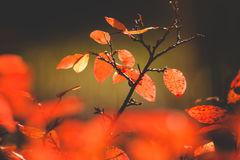 Vivid red leaves bush Royalty Free Stock Images