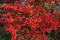 Vivid red leaves Stock Photos