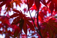 Vivid Red leaves Royalty Free Stock Photography
