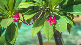 Vivid red petals and stems of blossom plumeria swinging on the wind, blue ocean on background.  stock footage