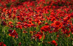 Vivid red poppy field at sunset. Beautiful summer background Stock Images
