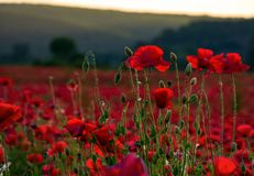 Vivid red poppy field at sunset. Beautiful summer background stock image