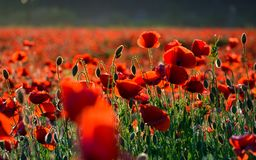 Vivid red poppy field at sunset. Beautiful summer background Royalty Free Stock Image