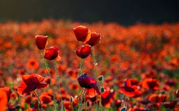 Vivid red poppy field at sunset. Beautiful summer background Royalty Free Stock Images