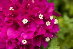 Vivid red purple bougainvillea Stock Image
