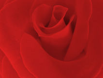 Vivid Red Rose Stock Image