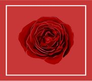 Vivid red Rose isolated on light red background with border. Computer graphic web design Stock Images